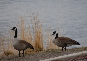 Geese hang around the Missouri River in Craig