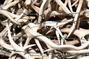 Close up of Antlers - Jackson, WY