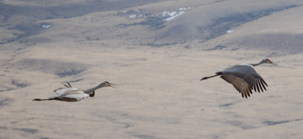 Sandhill Cranes near Red Rock Ranch in Montana