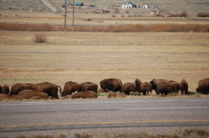 Ted Turner's Buffaloes on Red Rock Ranch