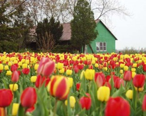 Tulip Field - Oxford County, Ontario
