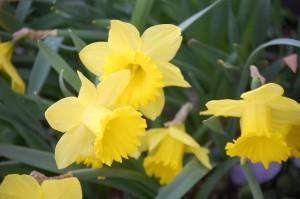 Daffodils in Bloom - Pella, IA