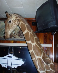 Giraffe hangs around at Ole's