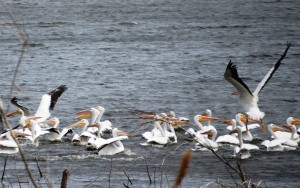 Pelicans taking flight - Lake Andes, SD