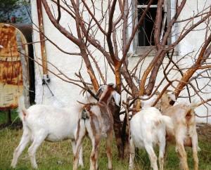 Community grazing tree in Belvidere