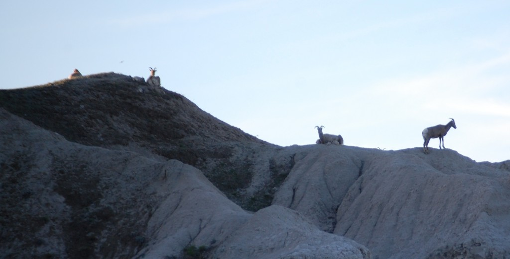 Mountain Goats relax at sunset in the Badlands