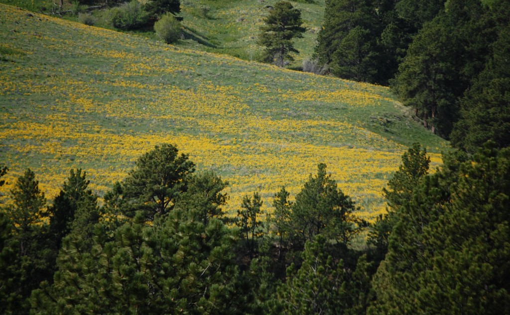 Mountain Wildflowers - east of Buffalo on US 16
