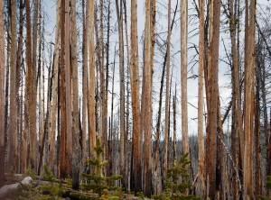 Burned trees - Yellowstone National Park