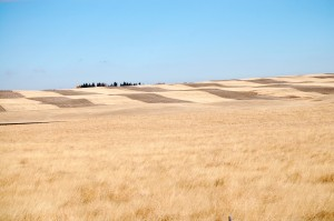 Amber Waves of Grain near Shelby, Montana
