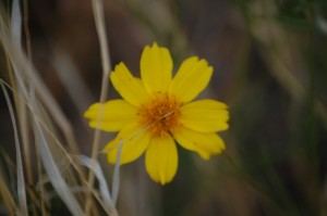 Another yellow woldflower