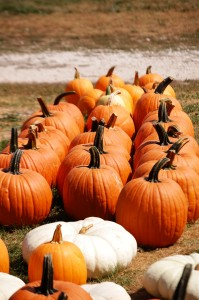 Fresh Pumpkins at Curtis Orchard