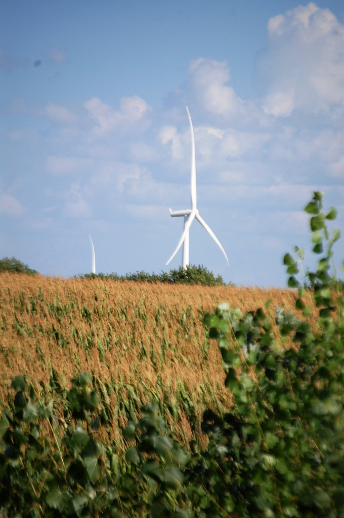 Wind Turbines seem to blossom like flowers out of the corn fields of Iowa
