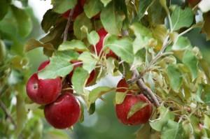 More Apples in Nebraska City