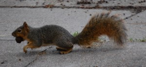 Squirrel with a mouthful