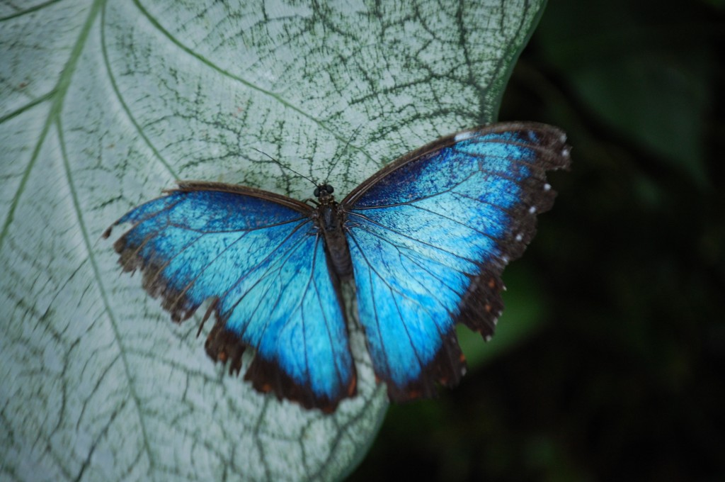 Blue Morpho Butterfly (morpho peleides) at the Butterfly House