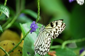 Paper Kite Butterfly (Idea leuconoe) from Southeast Asia